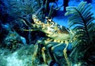 Underwater Photo of Lobster