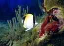 Underwater Photo of Reef Butterfly Fish