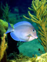 Underwater Photo of Blue Tang Tropical Fish