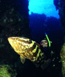 Underwater Photo of Nasau Grouper