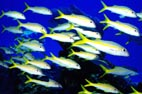 Underwater Photo of School of Yellow Goatfish